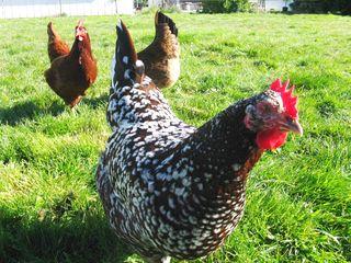 Spring chickens 015